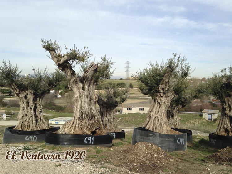 Venta de olivos en Madrid invierno