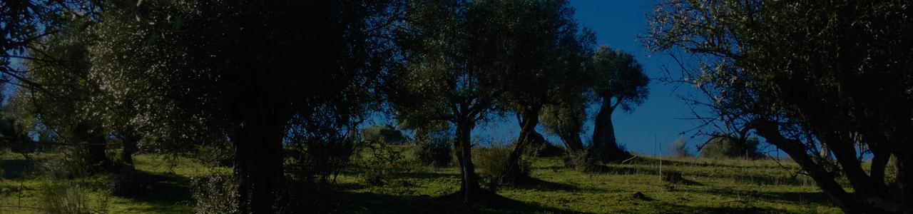 Venta de olivos madrid olivos milenarios y centenarios for Viveros de olivos