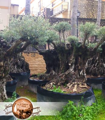 Venta de olivos