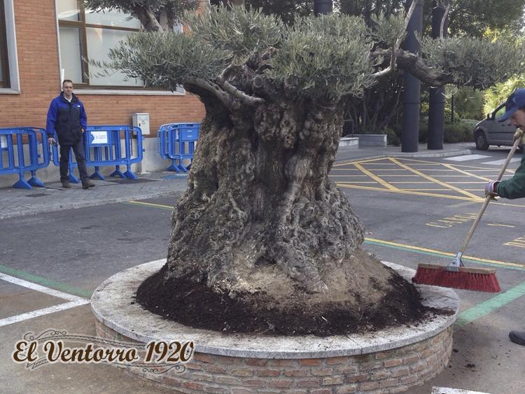Ejemplos de transplante de olivos