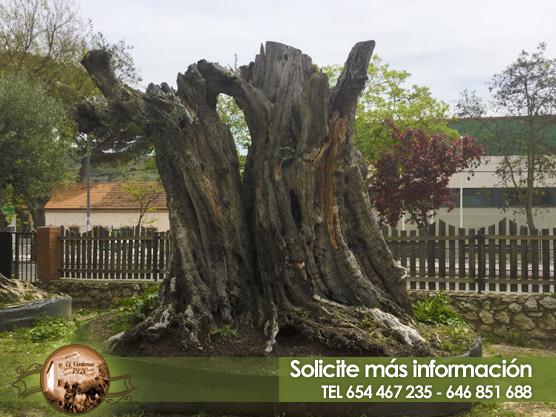 Venta de olivos milenarios en Madrid