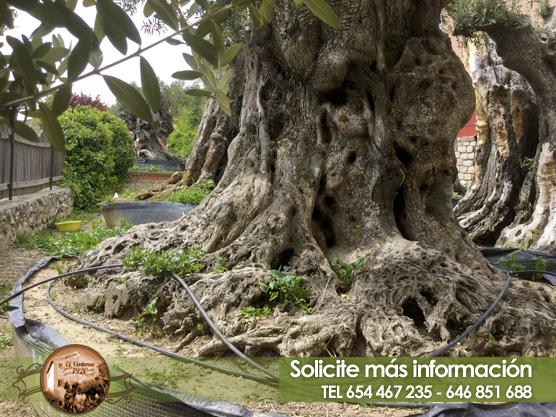 Venta de olivos milenarios en madrid el ventorro 1920 - Compra de olivos centenarios ...