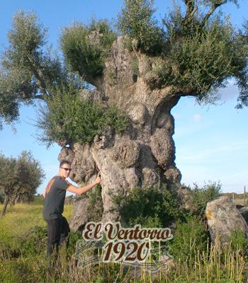 Mega olivos en Madrid