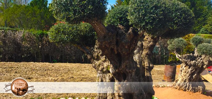 Ventas de olivos