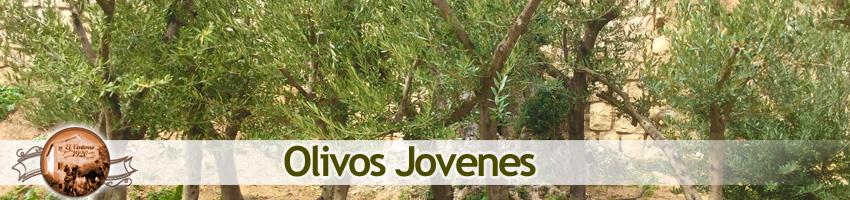 Venta de olivos jovenes en Madrid