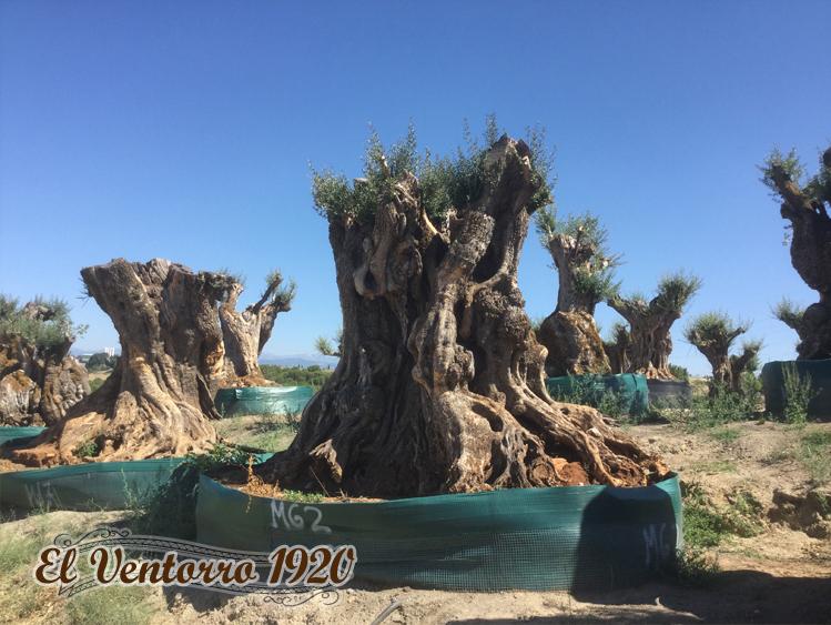 Venta de Mega olivos
