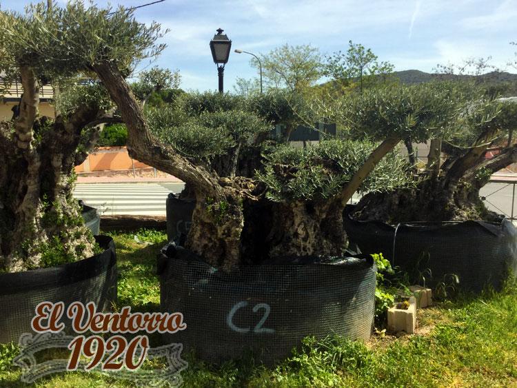 Olivos Centenarios 02