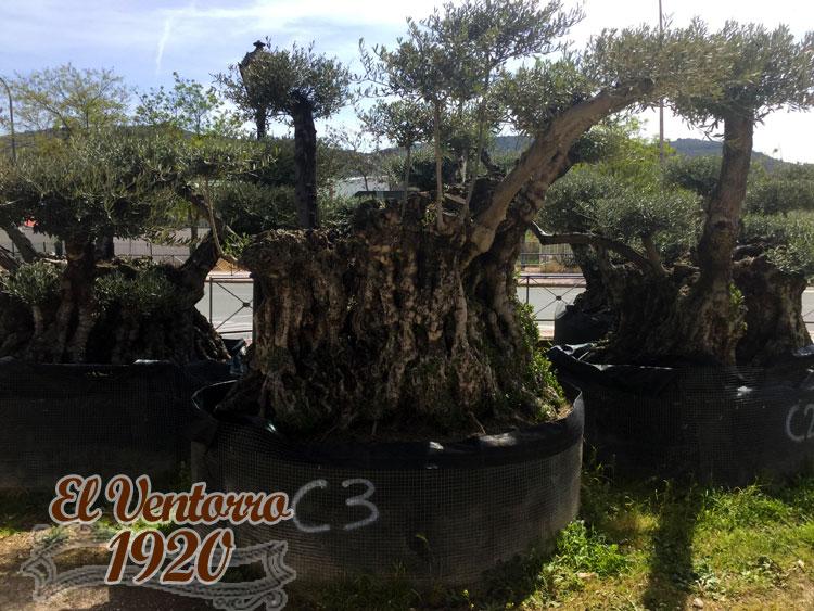 Olivos Centenarios 03