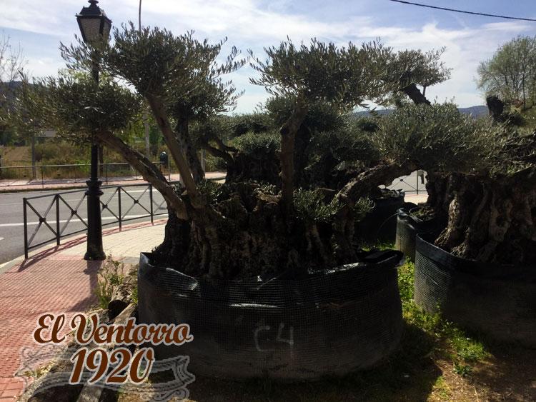 Olivos Centenarios 04