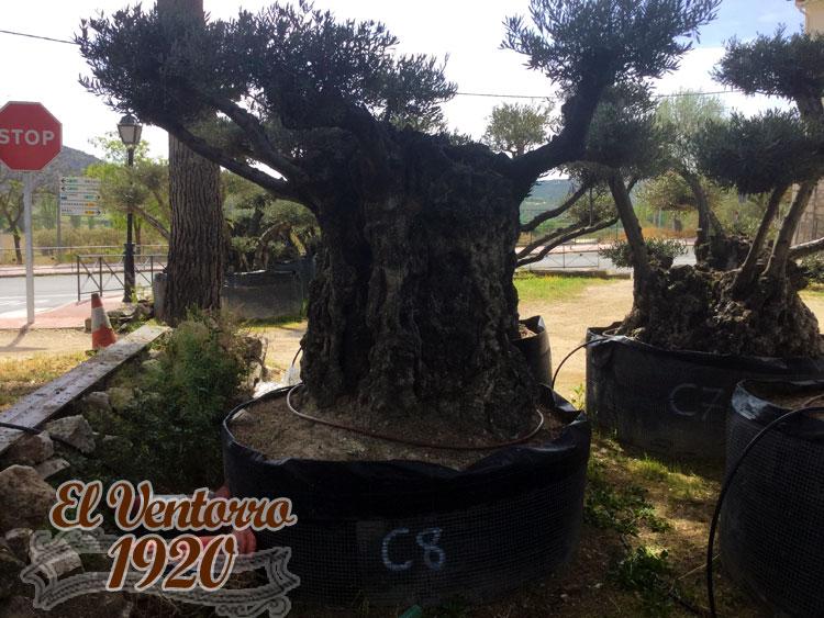 Olivos Centenarios 08