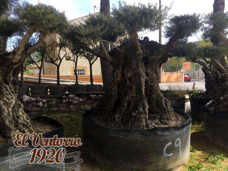 Olivos Centenarios 9