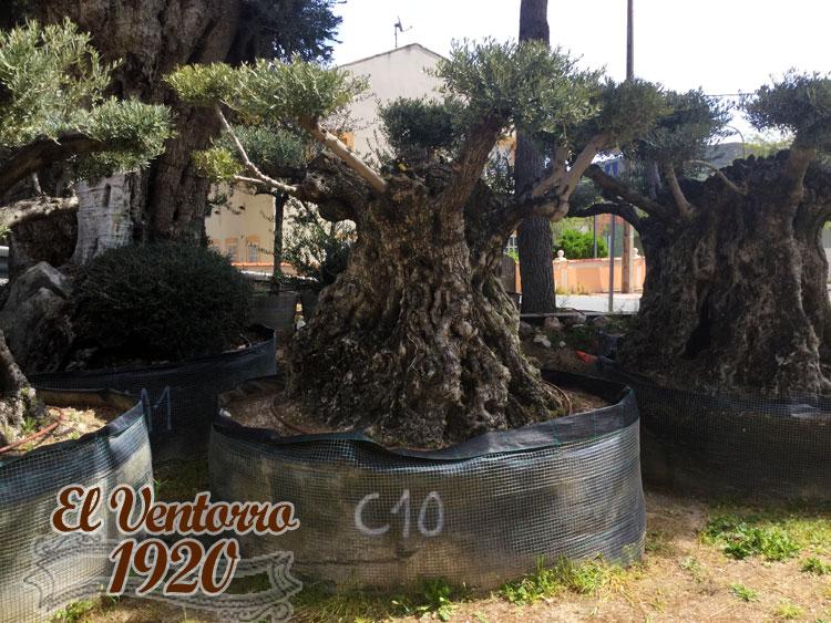 Olivos Centenarios 10