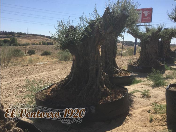 Olivos Centenarios 108