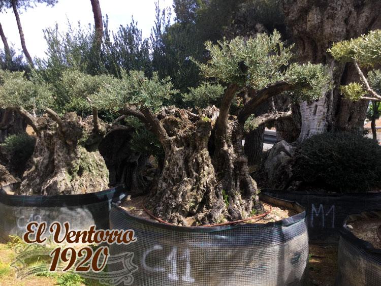 Olivos Centenarios 11