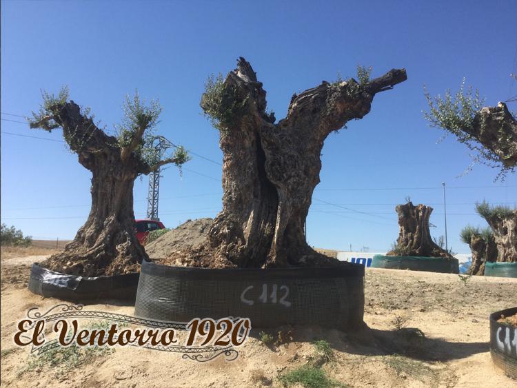 Olivos Centenarios 112