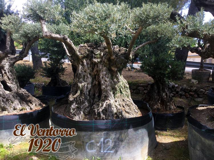 Olivos Centenarios 12