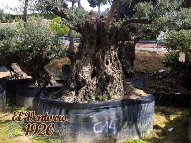 Olivos Centenarios 14