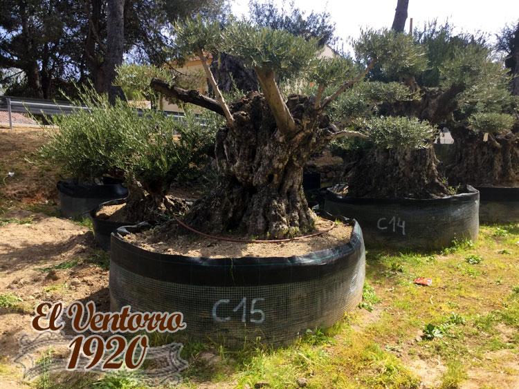 Olivos Centenarios 15