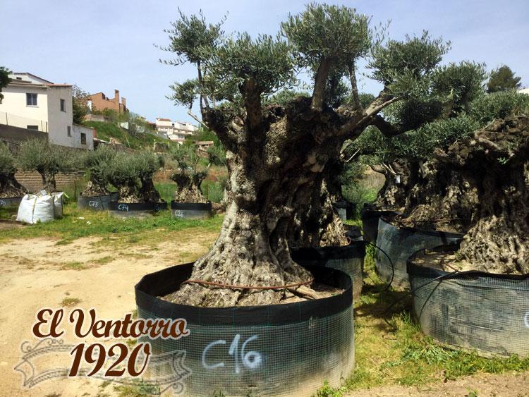 Olivos Centenarios 16