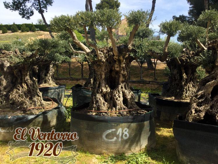 Olivos Centenarios 18