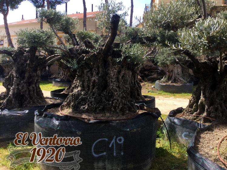 Olivos Centenarios 19