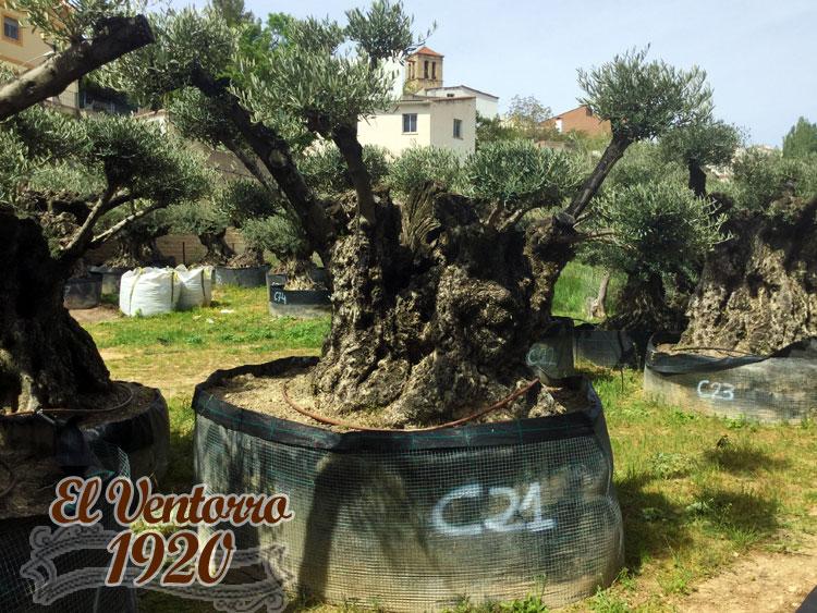 Olivos Centenarios 21