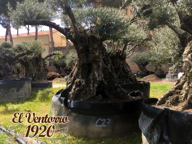 Olivos Centenarios 23