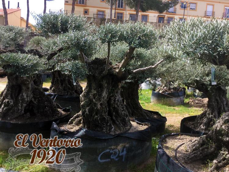 Olivos Centenarios 24