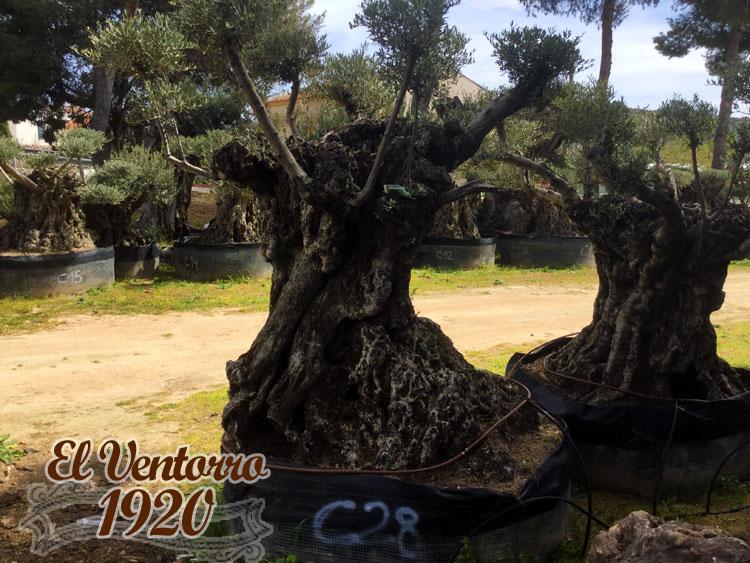 Olivos Centenarios 28