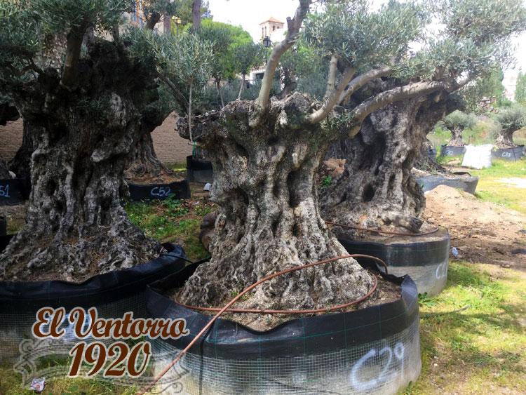 Olivos Centenarios 29