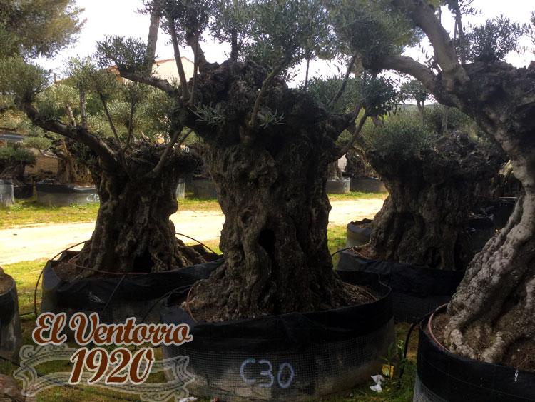Olivos Centenarios 30