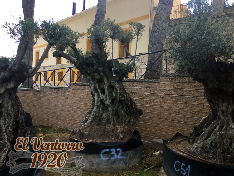 Olivos Centenarios 32