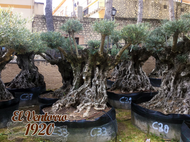 Olivos Centenarios 33