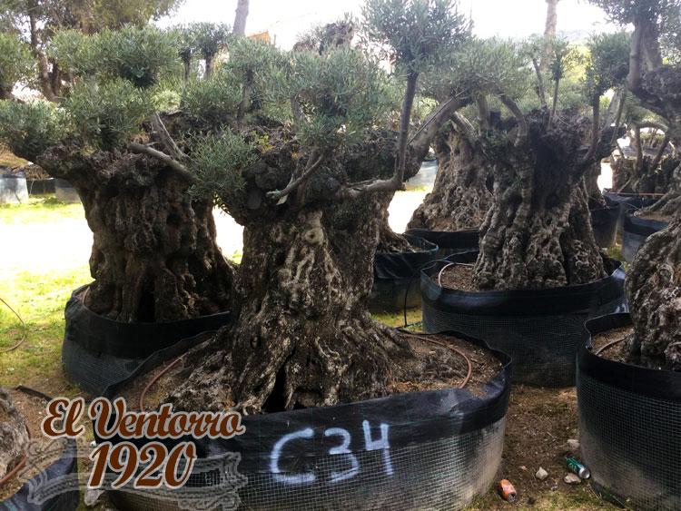Olivos Centenarios 34
