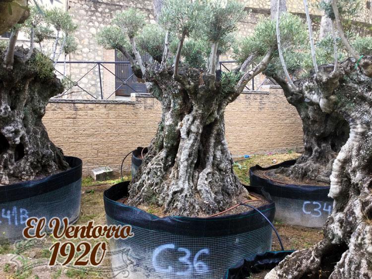 Olivos Centenarios 36