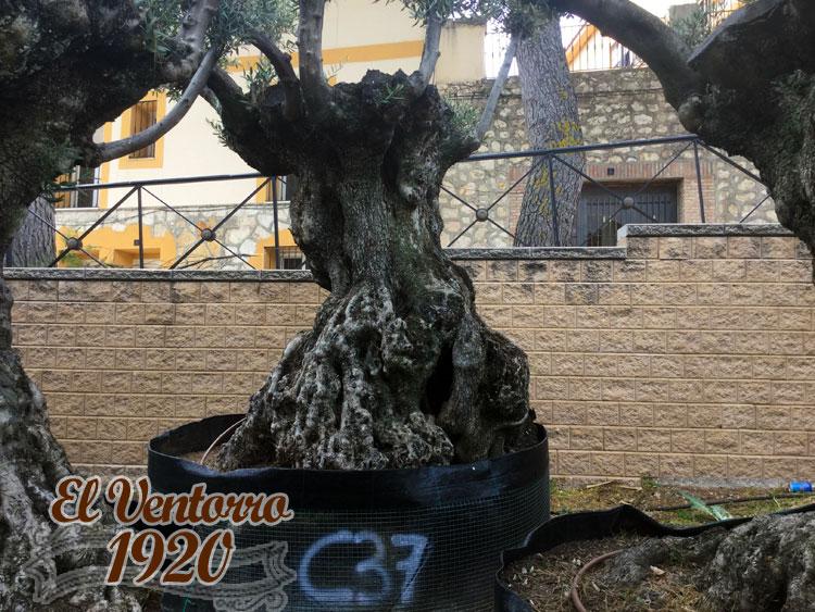 Olivos Centenarios 37