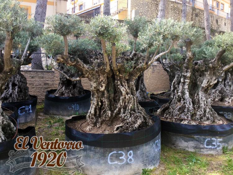 Olivos Centenarios 38