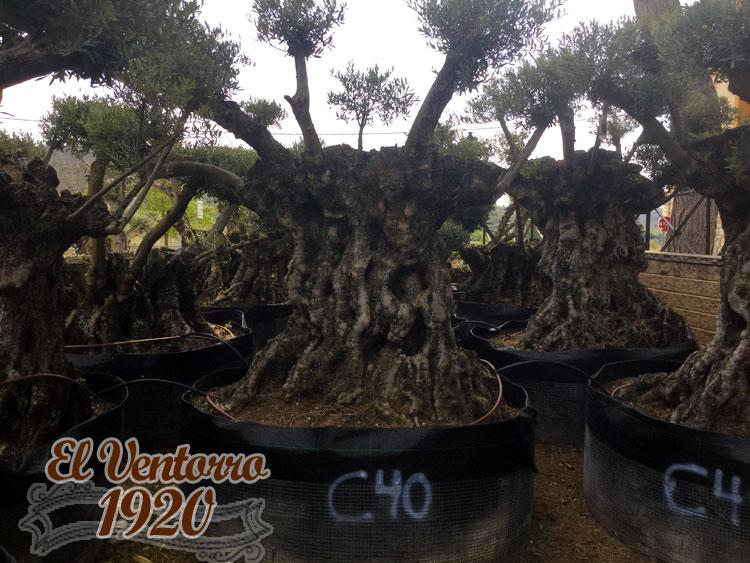 Olivos Centenarios 40