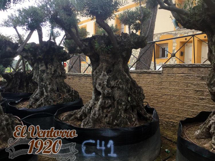Olivos Centenarios 41