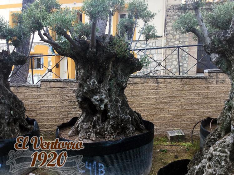 Olivos Centenarios 41b