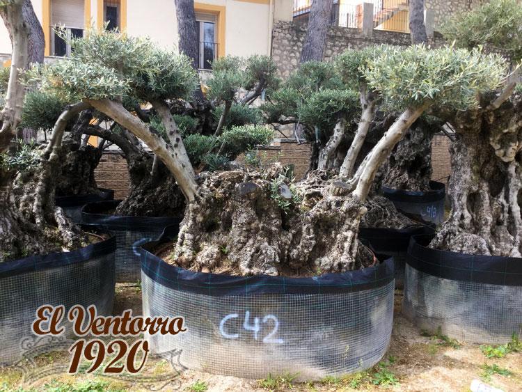 Olivos Centenarios 42