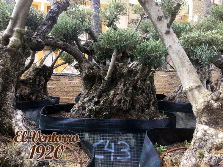 Olivos Centenarios 43