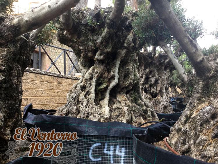 Olivos Centenarios 44