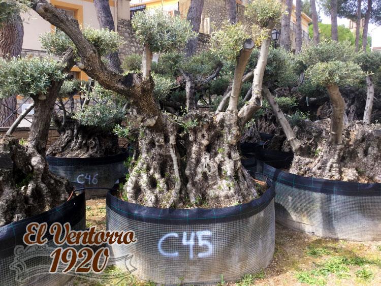 Olivos Centenarios 45