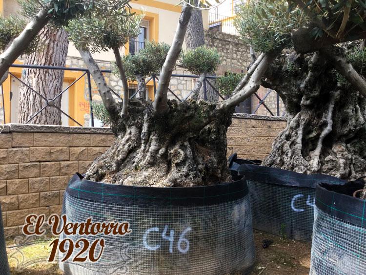 Olivos Centenarios 46
