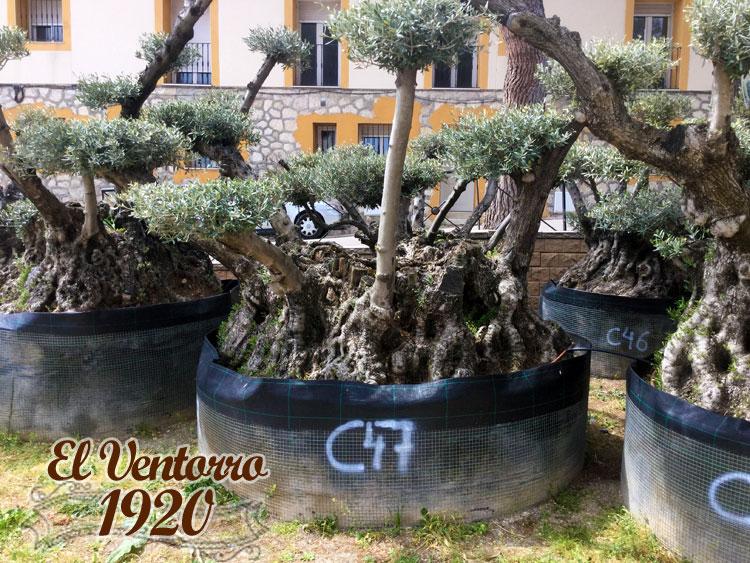 Olivos Centenarios 47