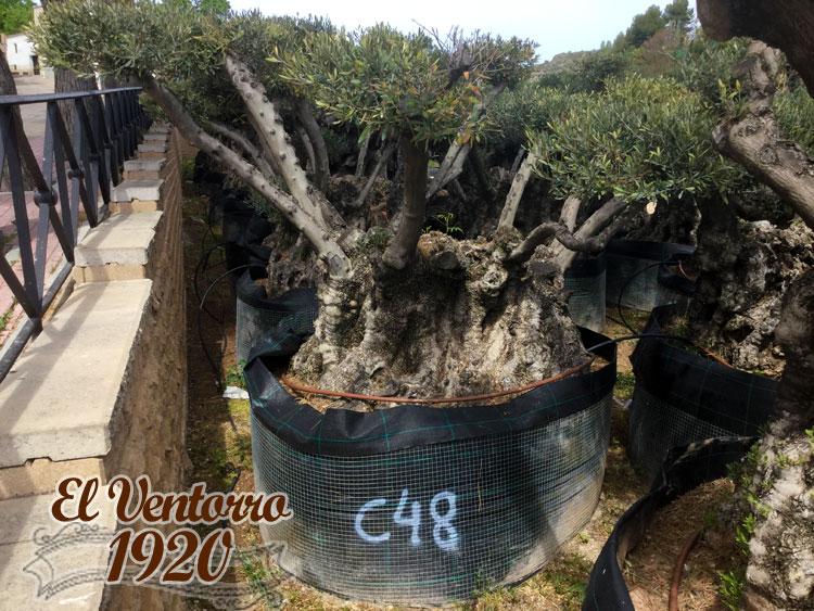 Olivos Centenarios 48