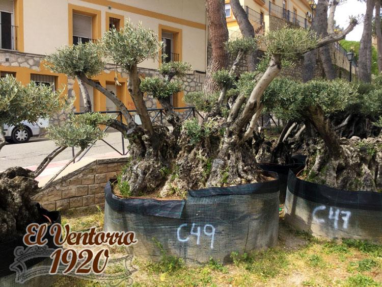 Olivos Centenarios 49