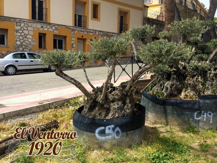 Olivos Centenarios 50