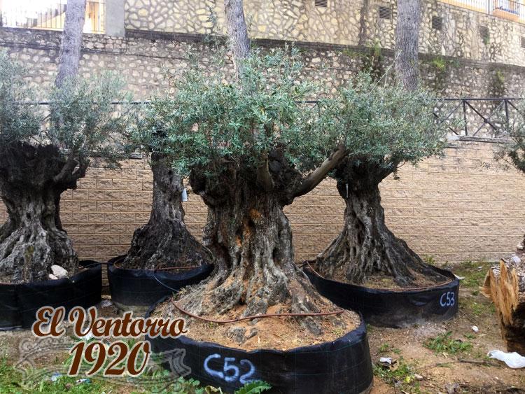Olivos Centenarios 52